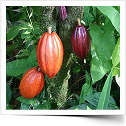 Colorful Cacao Tree
